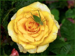 Grashüpfer auf gelber Rose
