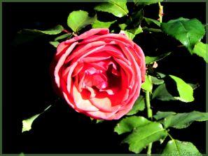 Rose irgendwo in Oberkirchen