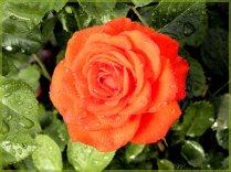 Rote Regenrose