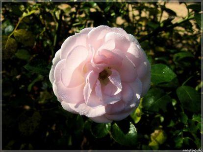 Weisse Rose am Rathausplatz ZW
